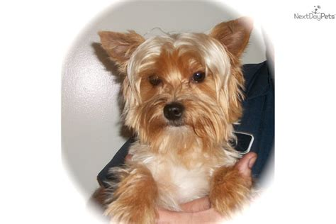 yorkie puppies for adoption in bay area terrier yorkie puppy for adoption near ta bay area florida 942eac98 4f02
