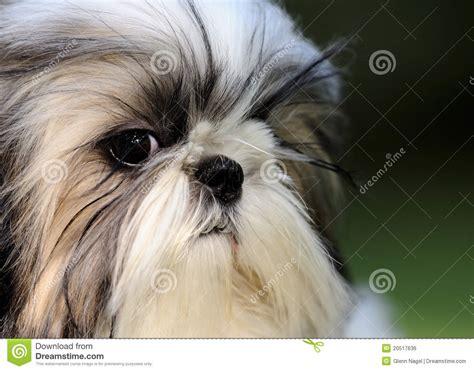 shih tzu for free shih tzu puppy royalty free stock image image 20517636