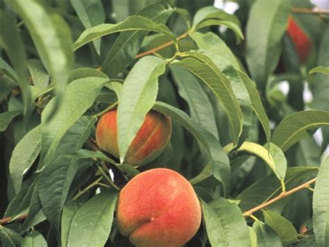 tree ripened fruit how to grow by the patio landscaping ideas and