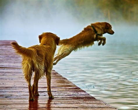 golden retriever water 10 golden retrievers totally defying the laws of physics