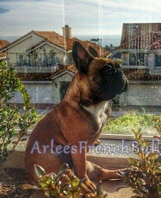 Do Bull Dogs Shed by Do Frenchies Shed Arlees Bulldogs