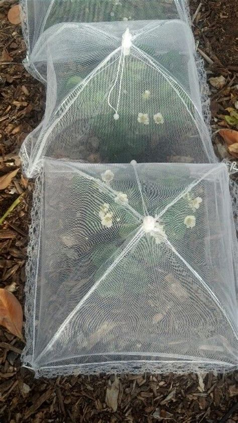how to my to be protective protect strawberry plants from birds using picnic plate net covers allotment