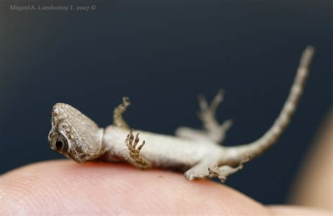lizards in house good or bad lizards in house or bad 28 images so finally you ve decided to get a gecko animals