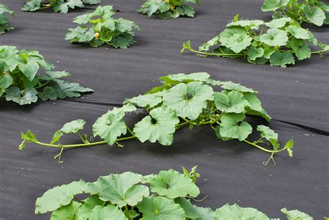 landscape fabric mulch courgette zucchini squash plants growing in vegetable garden with black landscape fabric