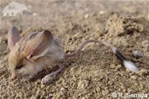 Eared Jerboa Endangered by Battle To Save Species From The Edge J A M La Vida