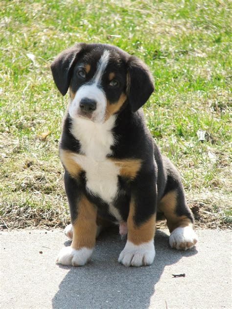 entlebucher mountain puppies entlebucher mountain picture and images