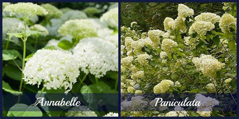 hydrangeas should you prune them in the fall or not reder landscaping landscape design