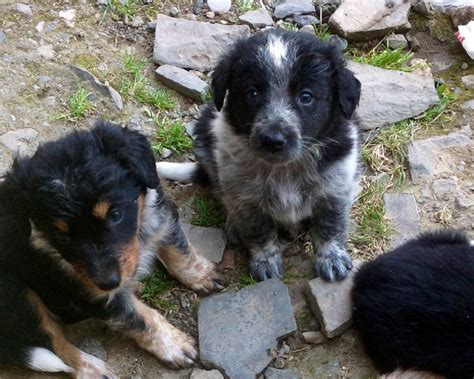 shollie puppies shollie puppies for sale breeds picture