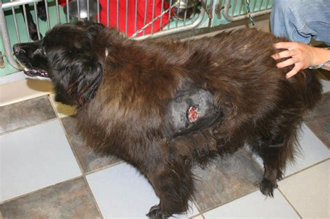 sores on dogs crusty sores on dogs back breeds picture