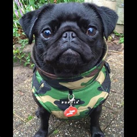camo pug 17 best images about all things pug camo on coats legends and posts