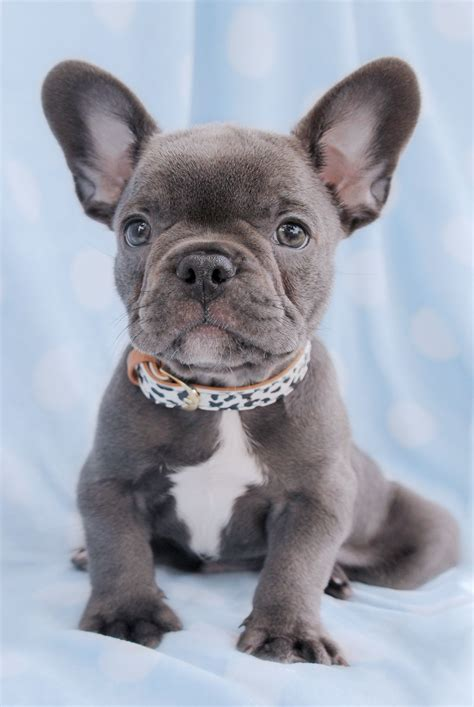 frenchie puppy for sale gorgeous bulldog quot frenchie quot puppy for sale in south flordia puppies