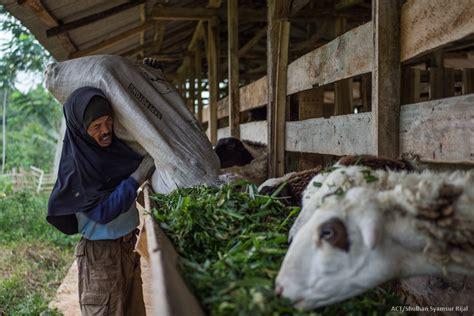 Mesin Pencacah Rumput Odot tantangan menyiapkan rumput odot di kemarau panjang