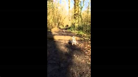 pug fails pug fails at log jump attempt pug