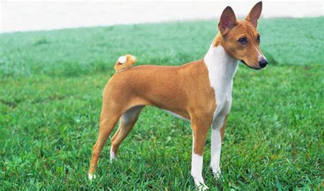 basenji puppy basenji breed information