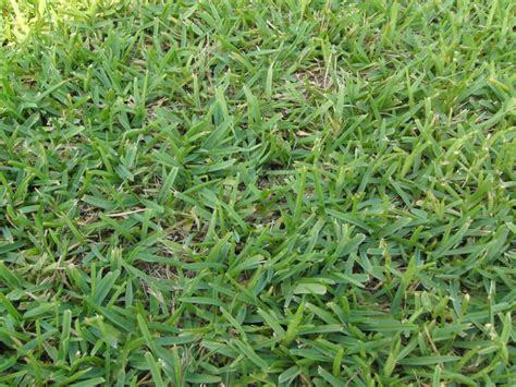 St Grass St Augustinegrass Carolina Sod Producers Association