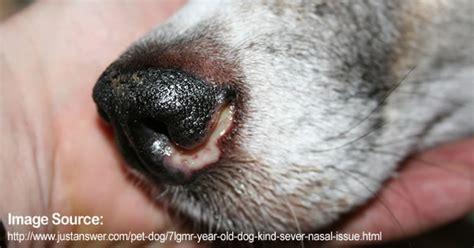 aspergillosis in dogs aspergillosis in pets