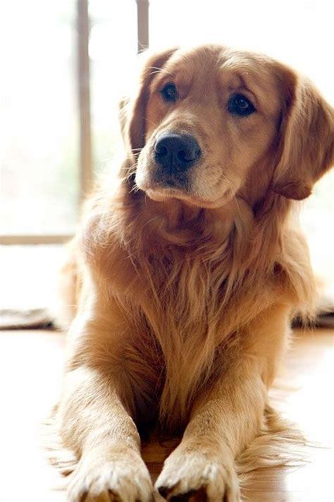 puppy names for golden retrievers best 25 golden retriever names ideas on pups golden retriever puppies and