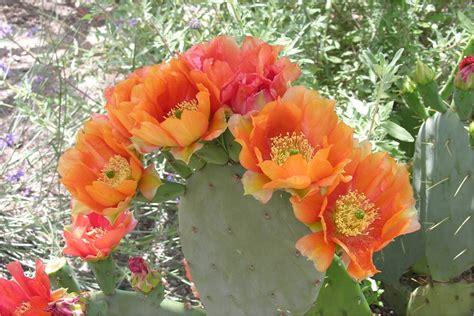 fiore di fichidindia il fico d india il fico spinoso che fico non 232 di