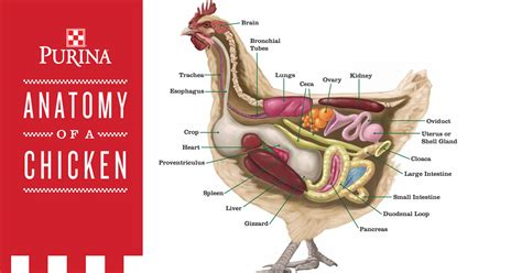 Chickens For Eggs In Backyard A Chicken S Digestive System The Journey From Feed To Egg