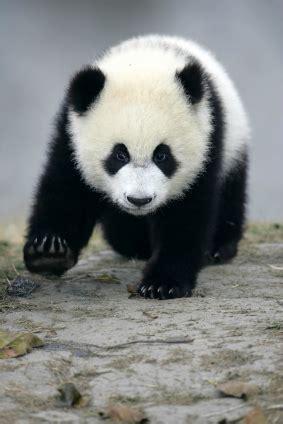 panda bear panda bear 0805080783 giant panda bear facts endangered animals