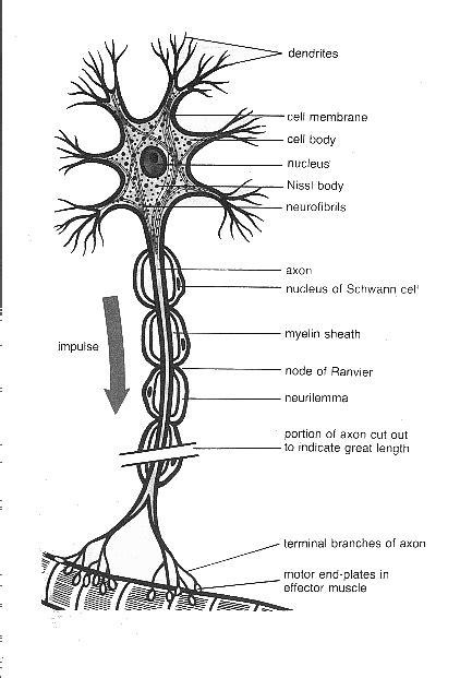 nervous tissue labeled diagram nervous tissues anatomy language histology