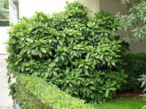 pianta sempreverde con fiori piante sempreverdi con fiori piante da giardino piante