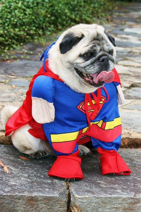 pug et costume 58 best pug costumes hahaha images on doggies pug costume and animales
