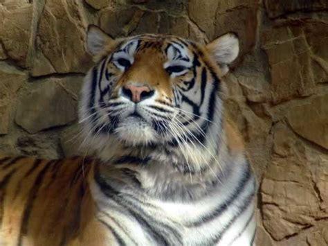 imagenes de tigres de bengala fotos de tigres de bengala tigrepedia auto design tech
