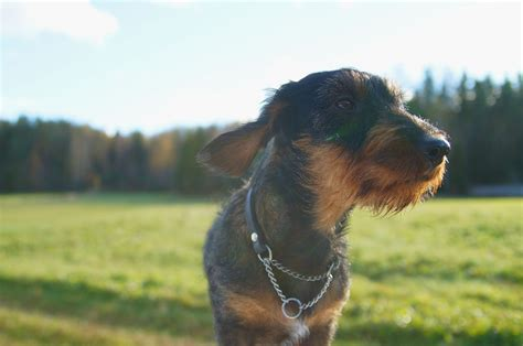 ivdd dogs intervertebral disc disease ivdd in dogs canna pet