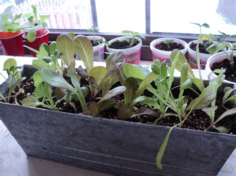 Lettuce Planter by Growing Lettuce In Containers Pay Dirt