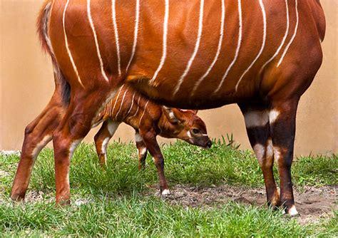 eastern mountain bongo archives animal fact guide
