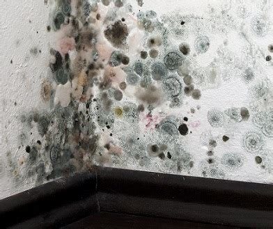 black mold images black mold learn about black mold symptoms and how to