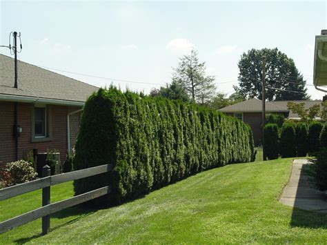 Trees For Privacy In Backyard by Planting Privacy Garden Housecalls