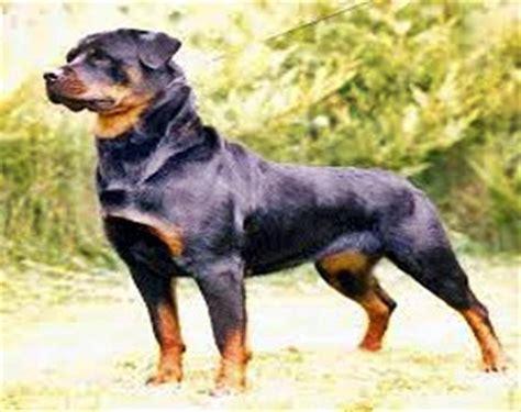 rottweiler net rottweiler 214 zellikleri nasıl bir k 246 pektir saldırgan mıdır