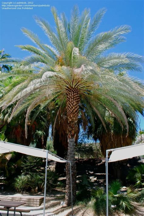 Palm Desert Botanical Gardens Plantfiles Pictures Date Palm Zahidi Dactylifera By Palmbob