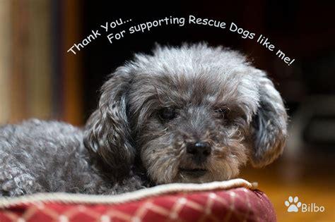poodle mix puppies rescue adorable rescue poodle terrier mix dogs