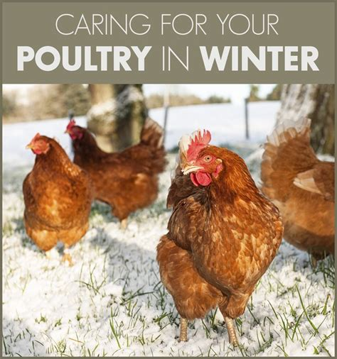 how to care for chickens in your backyard 65 best chick days flock care images on pinterest