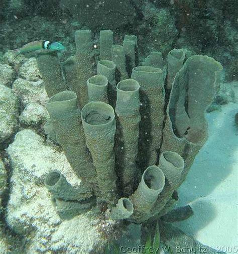 Branching Vase Sponge by Bluejacket Branching Vase Sponge Brownish Gray Variety