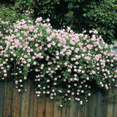 climbing rose bushes plants garden flowers