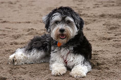havanese cross breeds havanese breeders all about havanese breeders