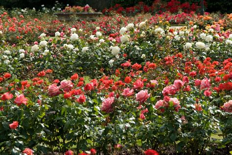 backyard rose gardens the rose garden greenwich park the royal parks