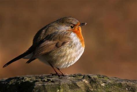 robin looks like quot round quot robin birds pinterest