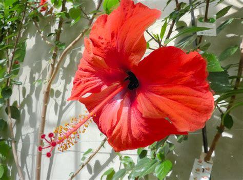 Types Of Garden Flowers - file hibiscus x archeri malvaceae flower jpg wikimedia commons