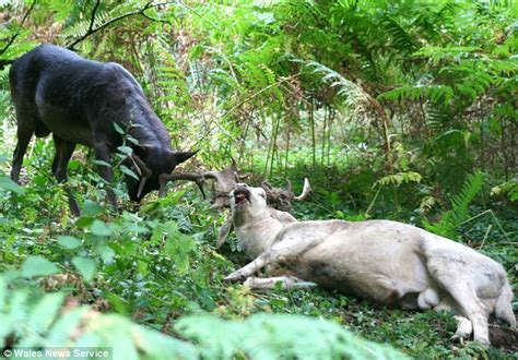 how often do dogs get their period the moment two exhausted rutting stags collapsed after getting their horns locked