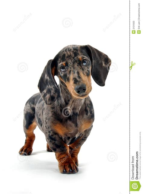 Black And Brown Black And Brown Dachshund Stock Photos Image 2131503