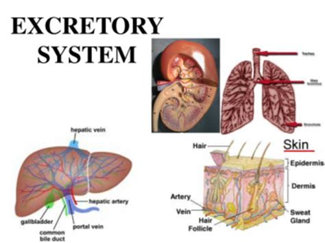 diagram of earthworm excretory process the excretory system period 1 home