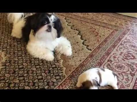 shih tzu spots introducing quot spots quot to quot oreo quot our black and white imperial shih tzu