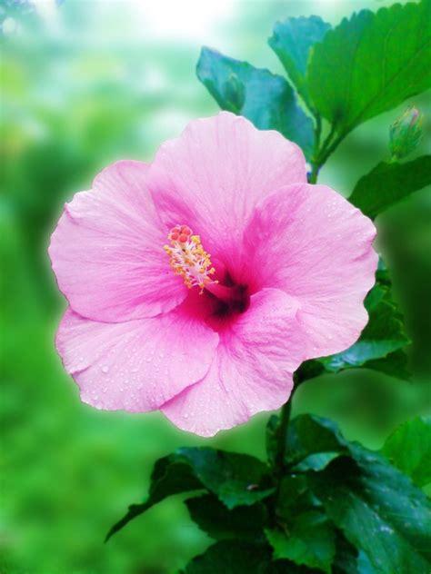 pink shoe flower by shaksam on deviantart