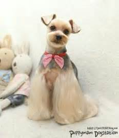 yorkie splash and shine uk 1000 ideas about yorkie hairstyles on yorkie terriers and