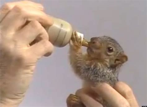 bob ross painting with squirrel bob ross feeds baby squirrel in this